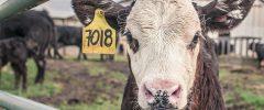 La nuova carne, un mondo senza allevamenti?